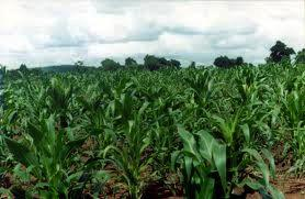 Maize grown by the school pupils