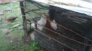 Sophie's Chickens