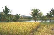 Paddy fields in Thailand
